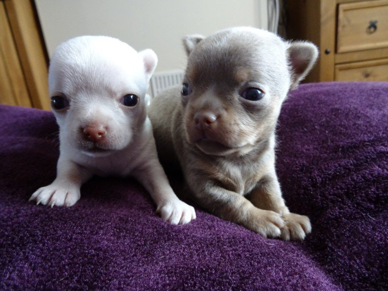 Outstanding Chihuahua\′s - Ready Now