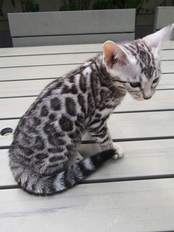 breeder bengal kitten